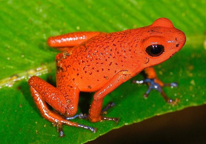 1200px-Oophaga_pumilio_(Strawberry_poision_frog)_(2532163201)